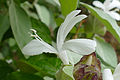 Grey Barleria (Barleria albostellata) flower (17202940948).jpg