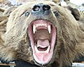 Grizzly Bear Head (5655240564).jpg