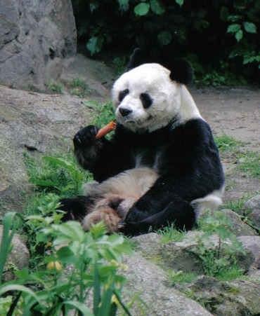 Großer Panda Bao Bao Berlin W 03