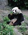 Großer Panda Bao Bao Berlin W 03.jpg