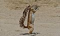 Ground Squirrel (Xerus inauris) (6452885745).jpg