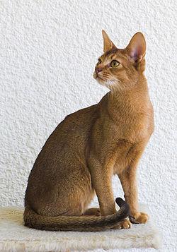 élevage chat