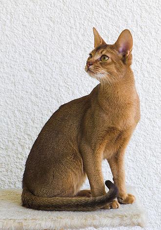 Abyssinian cat - A male ruddy Abyssinian