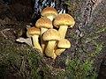 Gymnopilus ventricosus (Earle) Hesler 379938.jpg