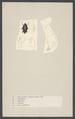 Gyrinus - Print - Iconographia Zoologica - Special Collections University of Amsterdam - UBAINV0274 001 02 0009.tif