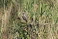 Héron pourpré (Ardea purpurea) 05.jpg