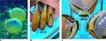 Híbrido de Chaetodon trifasciatus y C. lunulatus.png