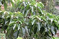 HK 尖沙咀東 TST East Bar Street tree crown green Aleurites moluccanus leaves June 2017 IX1.jpg