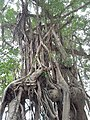 HK SW 上環 Sheung Wan卜公花園 Blake Garden 老榕樹 Chinese banyan tree 氣根 root n trunk February 2020 SS2 10.jpg