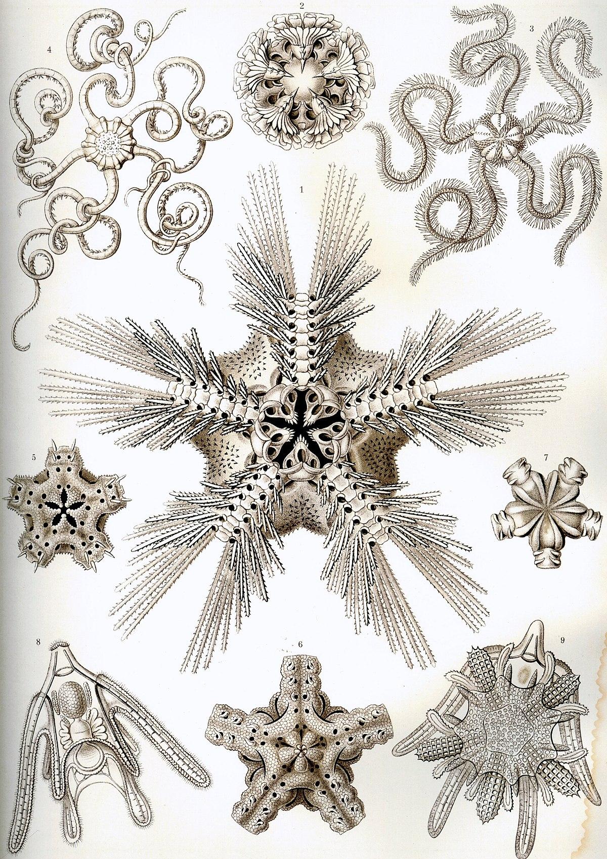 Ophiuroidea - Wikipedia, la enciclopedia libre