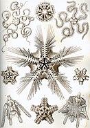 Haeckel Ophiodea