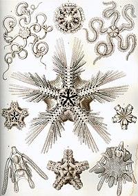 Haeckel Ophiodea.jpg