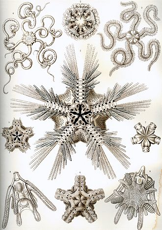 Brittle star - Plate of brittle stars from the Kunstformen der Natur from Ernst Haeckel (1904)