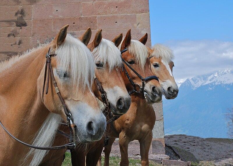 File:Hafling Horses.jpg