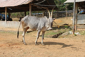 Hallikar - Hallikar cow