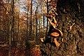 Hallimasche (Armillaria) 01 (22918684885).jpg