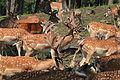Haltern - Naturwildpark Granat - Dama dama dama 63 ies.jpg