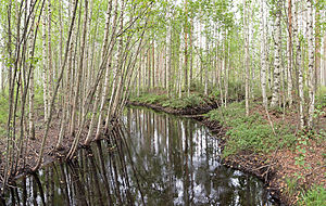 Birch - Birch trees near stream in Hankasalmi, Finland