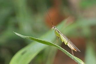 Iridopterygidae - Hapalopeza nilgirica, Kadavoor