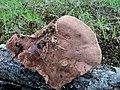 Hapalopilus rutilans 13083710.jpg