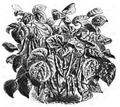 Haricot nain blanc unique Vilmorin-Andrieux 1883.png