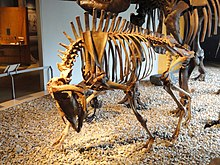 Harlan's musk ox (cast) - Indiana State Museum - DSC00404.JPG