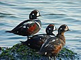 Harlequin Ducks.jpg
