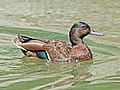 Hawaiian Duck RWD6.jpg