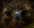 Hawk face wildlife 44 - West Virginia - ForestWander.jpg
