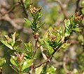 Hawthorn, crataegus monogyna - geograph.org.uk - 386221.jpg