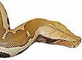 Head-Python breitensteini.jpg
