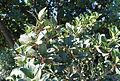 Heberdenia excelsa - Jardín Botánico de Barcelona - Barcelona, Spain - DSC09178.JPG
