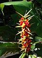 Hedychium gardnerianum (13991394844).jpg