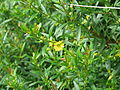 Heimia salicifolia (21065819426).jpg
