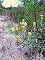 Helichrysum arenarium OM5.JPG