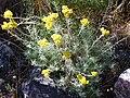Helichrysum stoechas Habitus 2010-6-08 DehesaBoyaldePuertollano.jpg