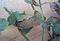 Heliotropium indicum 09.JPG