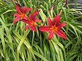 Hemerocallis cultivars London 1.jpg