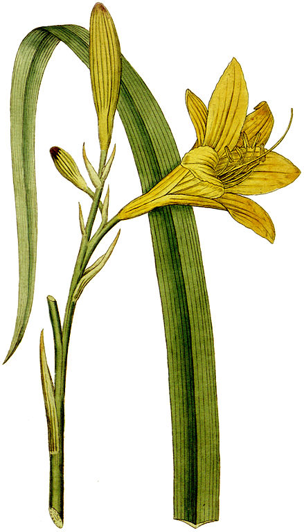 Hémérocalle jaune, dessin du botaniste Curtis lié au jardin botanique de Chelsea à Londres.