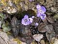 Hepatica nobilis.JPG