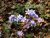 Hepatica nobilis plant.JPG