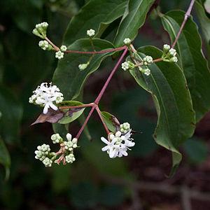 Français : Fleurs de Heptacodium miconioides -...