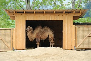 Wild Bactrian camel - At the Tierwelt Herberstein, Austria