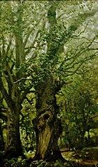 Alte Eichen im Wald (Vilm)