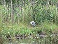 Heron at Lower Moors Pool, St Mary's, Scilly - geograph.org.uk - 1607508.jpg