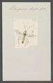 Heterogamus - Print - Iconographia Zoologica - Special Collections University of Amsterdam - UBAINV0274 046 08 0052.tif