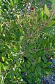 Heteromeles arbutifolia kz3.jpg