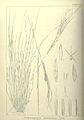 Heteropogon contortus00.jpg