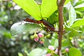 Heteroptera mating Brazil.jpg