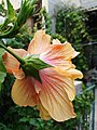 Hibiscus after rain.jpg